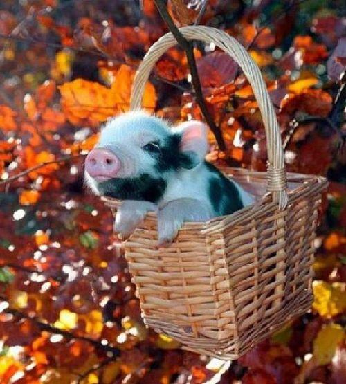 cochon en automne