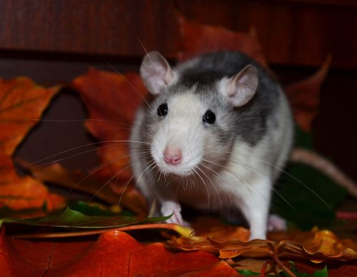 rat automne