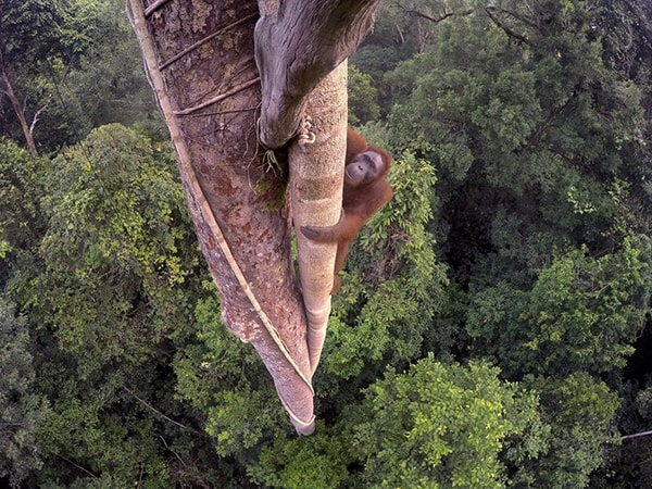 Wildlife Photographer of the Year, Tim Laman