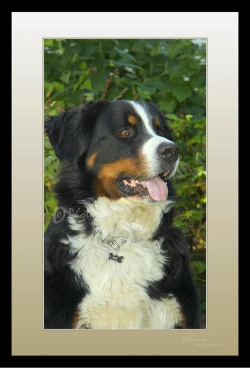 photographie animaux domestiques chien