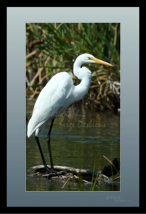 photo aigrette