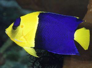 Poisson-ange à deux bandes, Centropyge bicolor