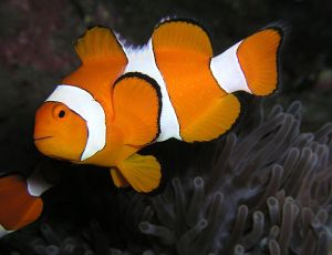 Poisson clown, Amphiprion ocellaris