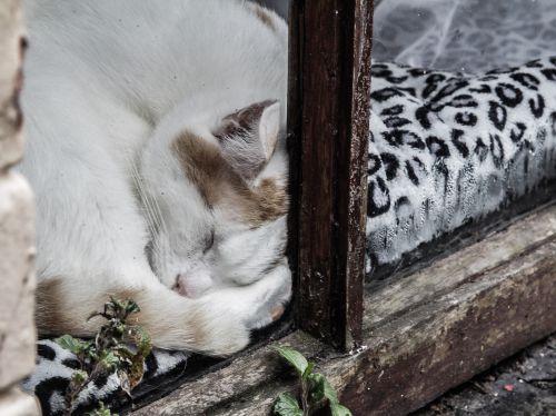 fièvre chez le chat
