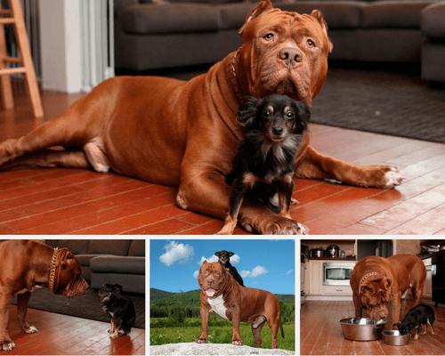 Chihuahua Mami et pitbull Hulk