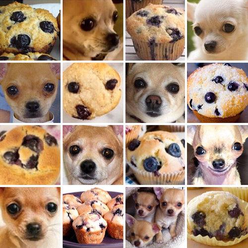 Chihuahua ou muffin