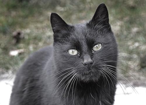 13 Raisons D Adopter Un Chat Noir