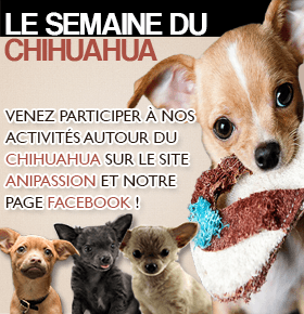 Semaine de la race Chihuahua sur Anipassion