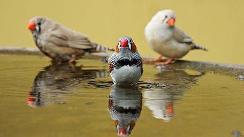 Top 10 des oiseaux domestiques les plus populaires for Oiseau domestique interieur
