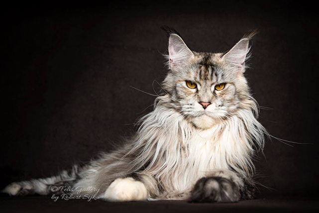 photographies Maine Coon