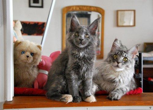 chats de race Maine Coon