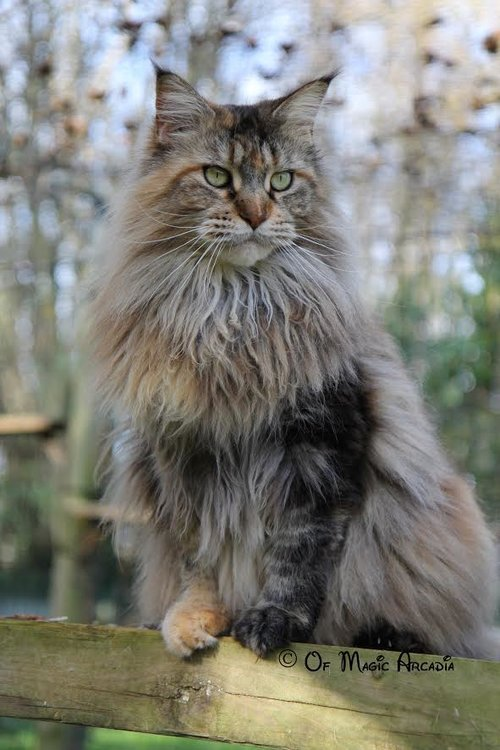 maine coon chats anipassion. Black Bedroom Furniture Sets. Home Design Ideas