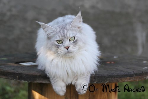 Chat Maine Coon: Chatterie of Magic Arcadia