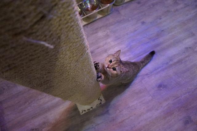 chaton et griffoir