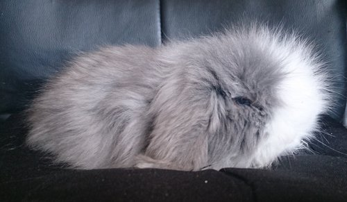 lapin bélier teddy