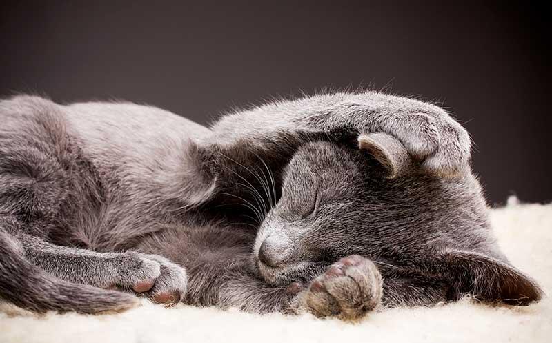 chat qui ne ronronne pas