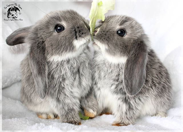 jeune lapin bélier