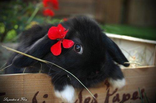élevage lapins bélier