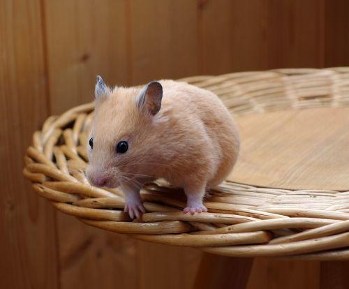 espérance de vie d'un hamster