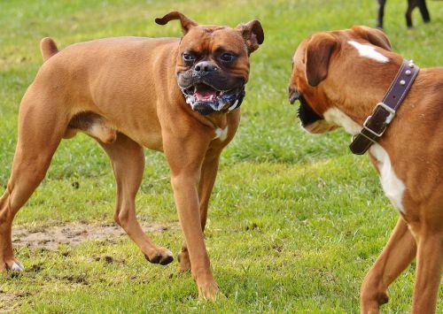 chiens après la bagarre