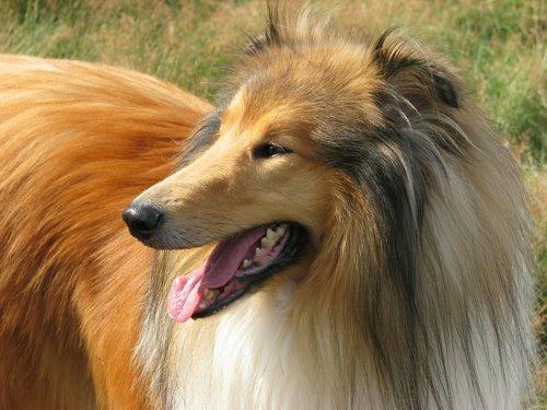 perte poil de chien