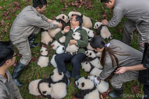 Zhang Hemi avec les bébés pandas