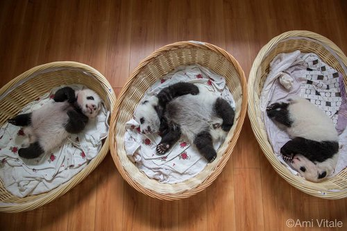 bébés de panda, Ami Vitale