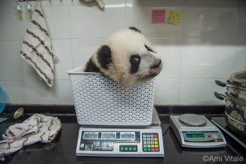 petit panda, photographie d'Ami Vitale