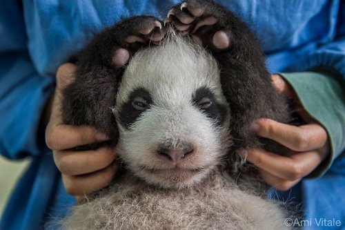 photo de panda géant par Ami Vitale