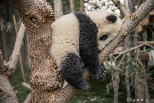 petit panda fait sa sieste