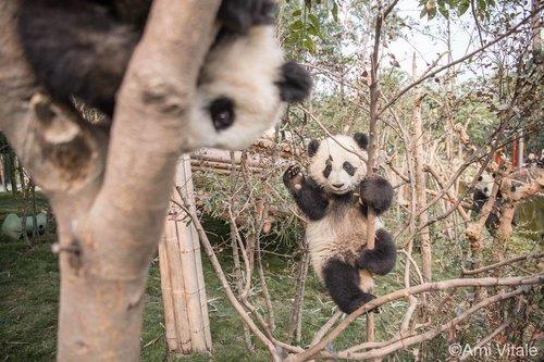 bébés pandas dans la réserve en Chine