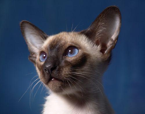 entretien du chat siamois
