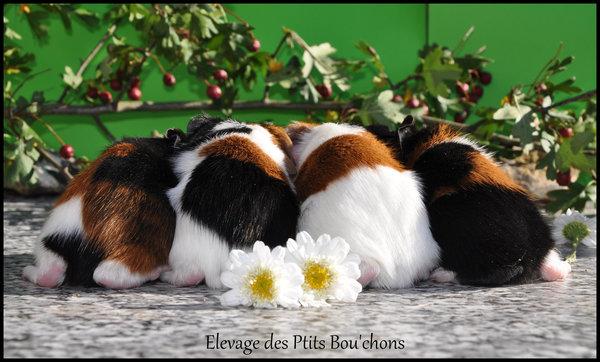 cochons d'inde, élevage Ptits Bou'chons