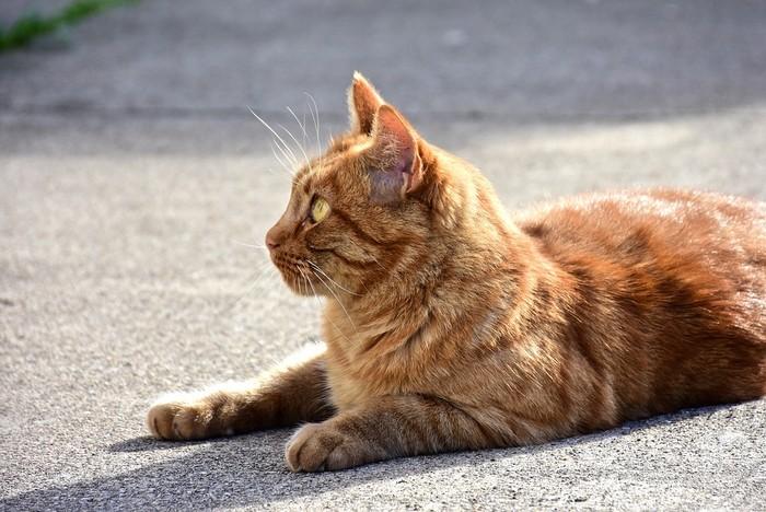 Soigner le syndrome du tigre chez le chat