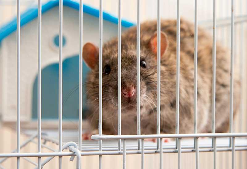 adopter ses rats domestiques