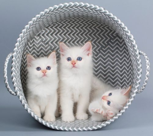 chatons de race sacré de birmanie