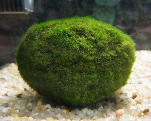 10 plantes d aquarium sans substrat. Black Bedroom Furniture Sets. Home Design Ideas