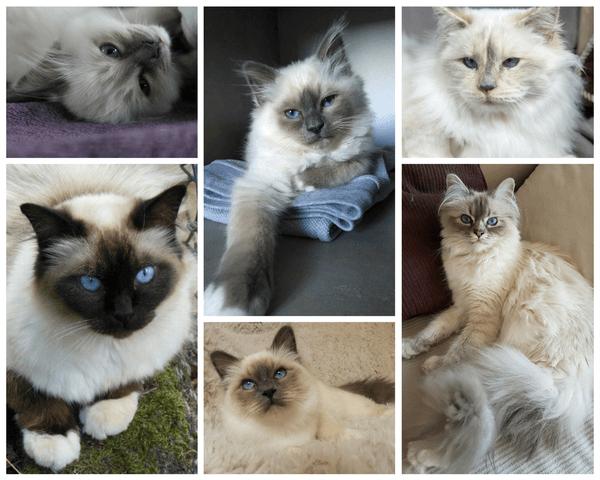 chats birmans