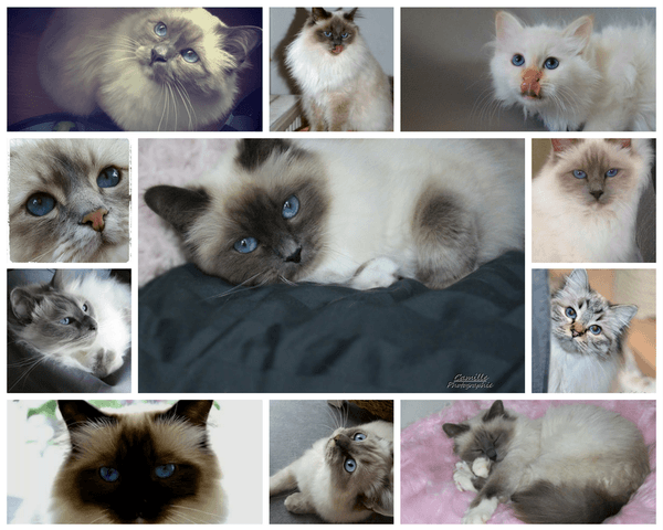 race Birman images