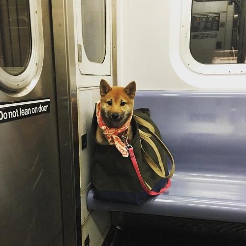 chiens dans métro