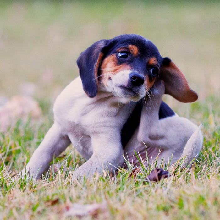 traitement antipuce chien