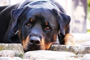 races touchés par le cancer : rottweiler