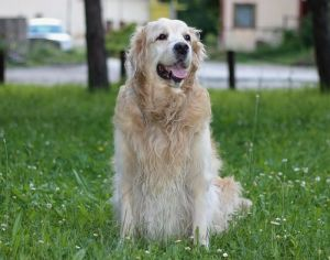 races touchés par le cancer : golden retriever