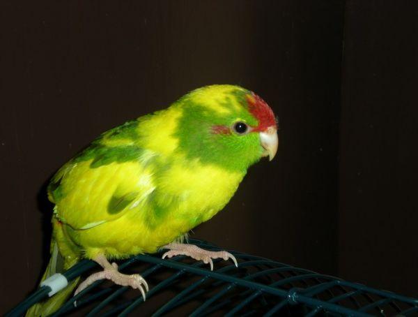 Oiseaux faciles à apprivoiser : Kakariki