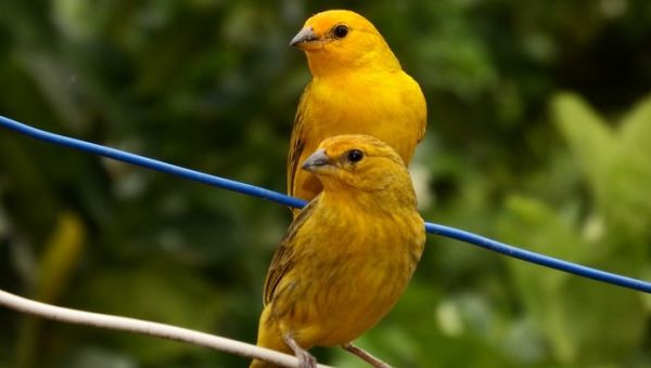 Oiseaux faciles à apprivoiser : Canari