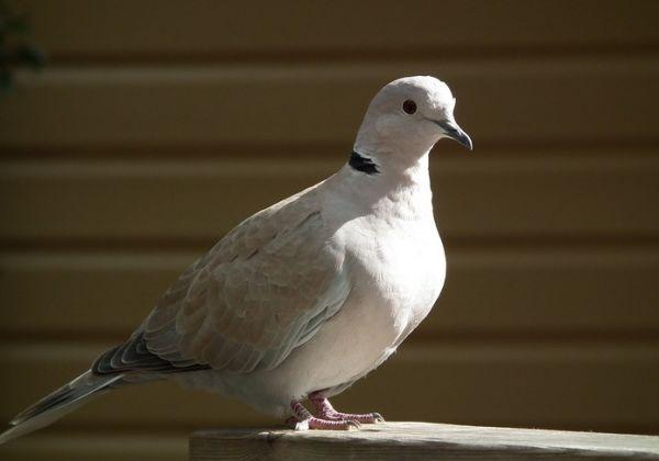 Oiseaux faciles à apprivoiser : Tourterelle