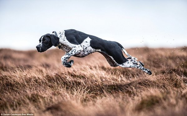 Sarah Caldecott, photo concours Dog Photographer Of The Year
