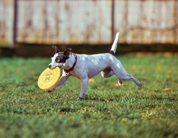 frisbee avec son chien