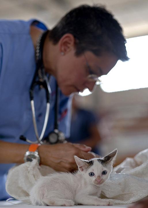 Traitement de la gale des oreilles chez le chat