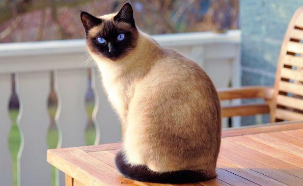 proposer un chat de race en saillie